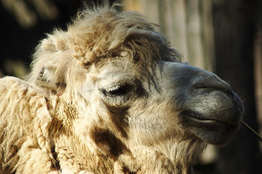 Camel Via @Atisgailis