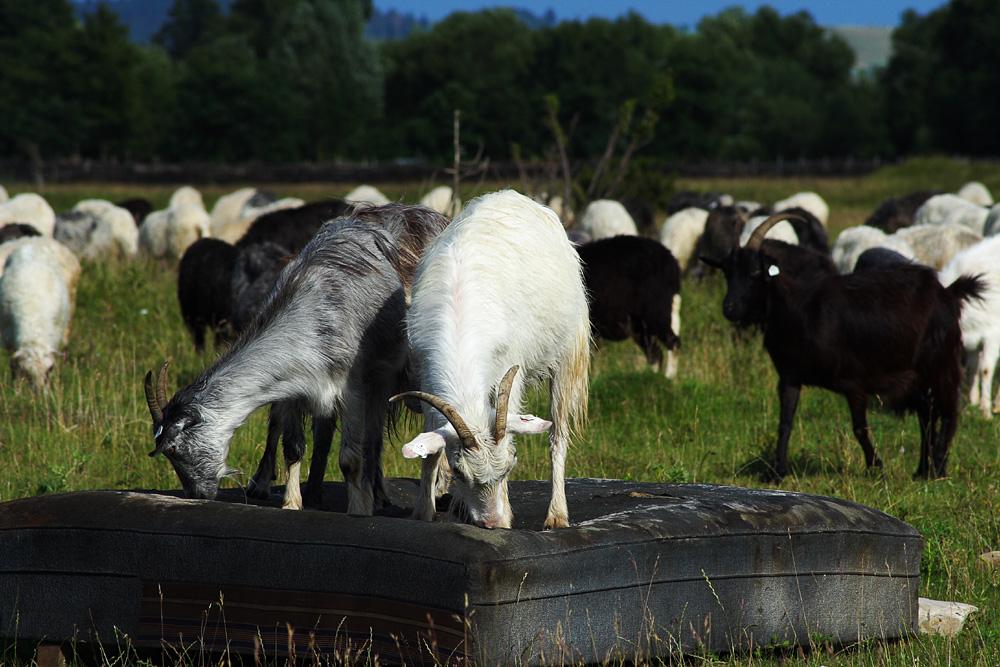 Goats Via @Atisgailis