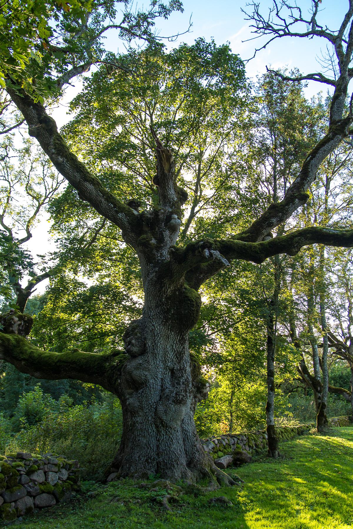Old Tree Via @Atisgailis