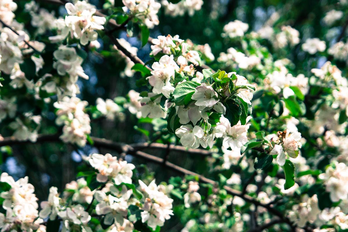 Blooming Apple Tree Via @Atisgailis