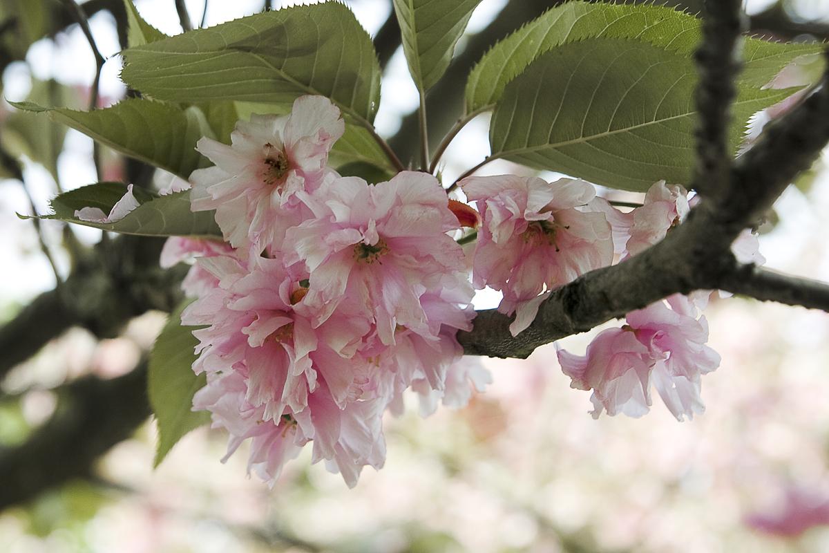 Cherry Blossoms Via @Atisgailis