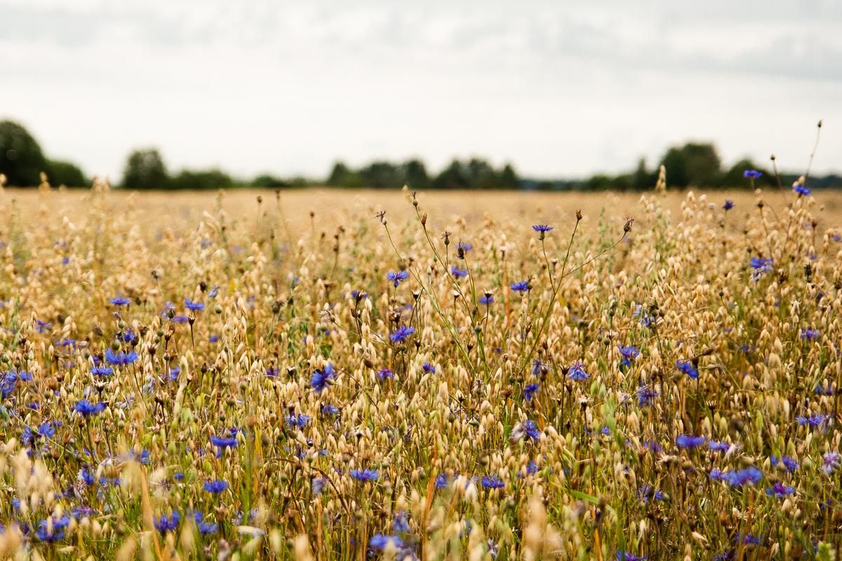 Cornflowers Via @Atisgailis