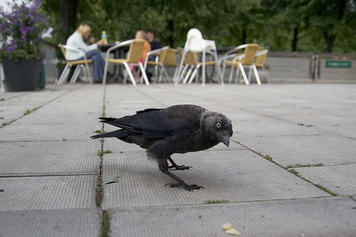 The Crow Via @Atisgailis