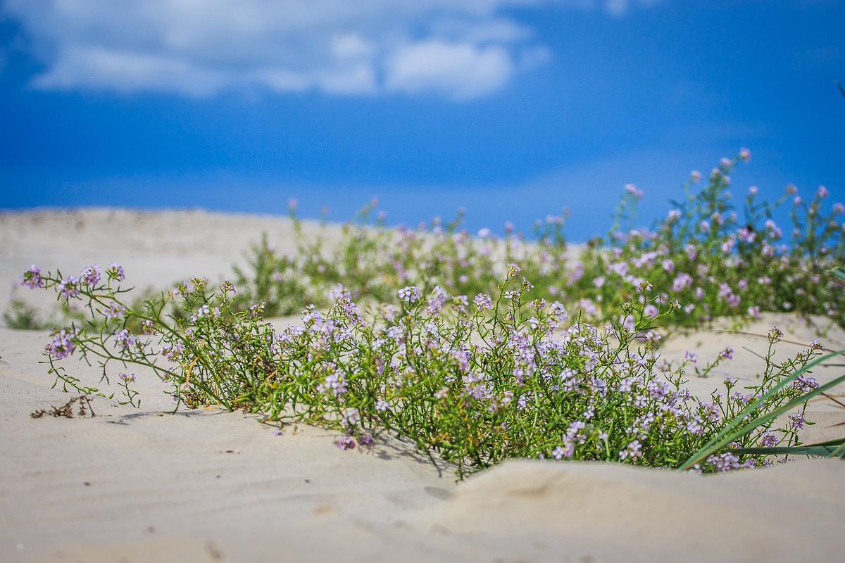 Flowers In Dunes Via @Atisgailis