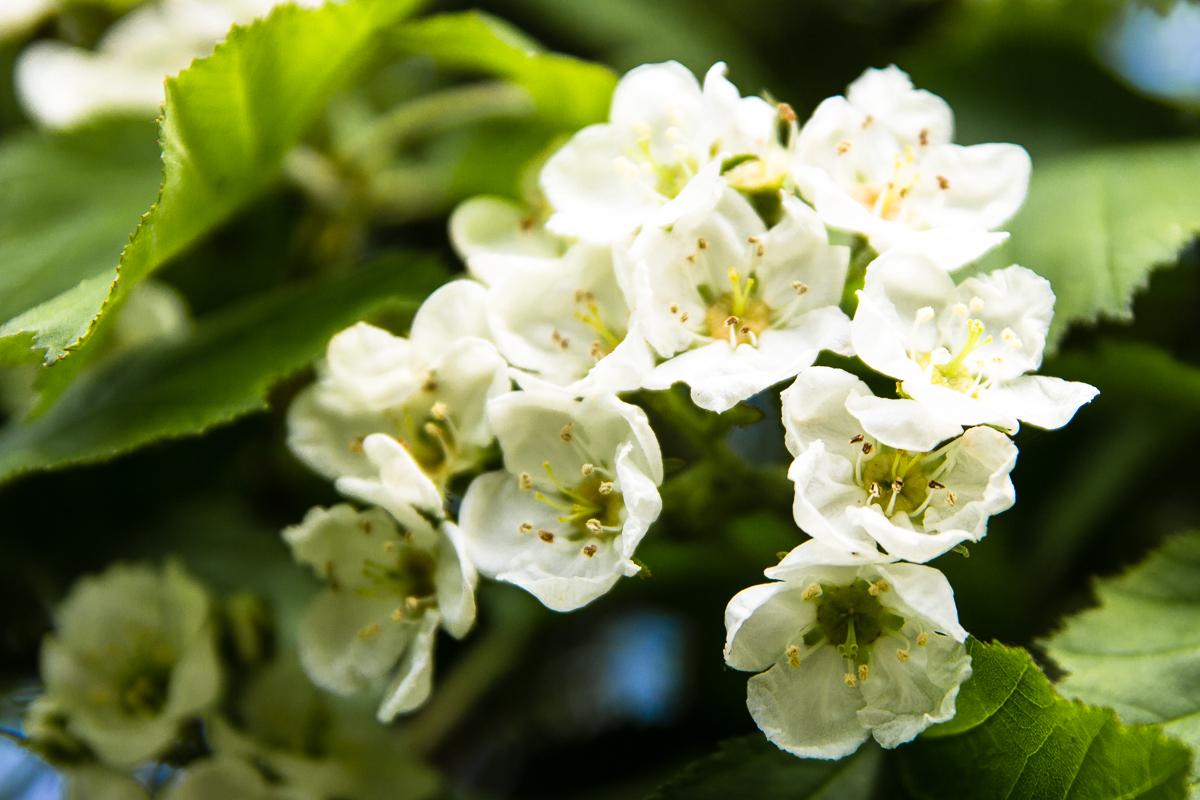 Hawthorn Flowers Via @Atisgailis