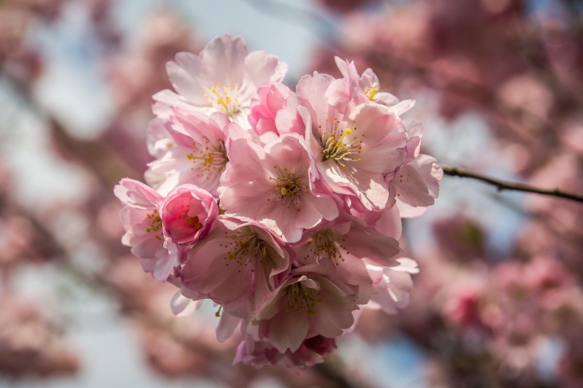 Pink Cherry Blossoms Via @Atisgailis
