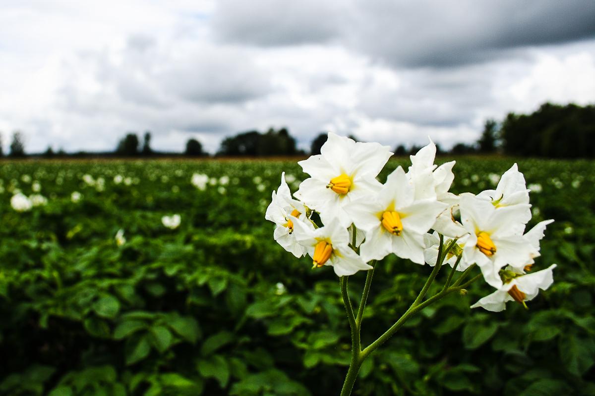 Potato Flowers Via @Atisgailis