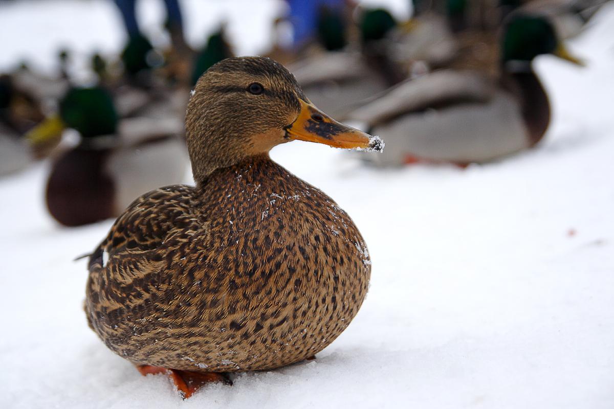 Smile Of The Duck Via @Atisgailis