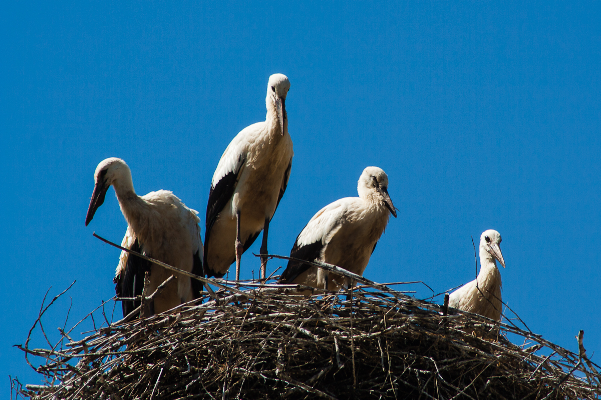 Stork Family Via @Atisgailis