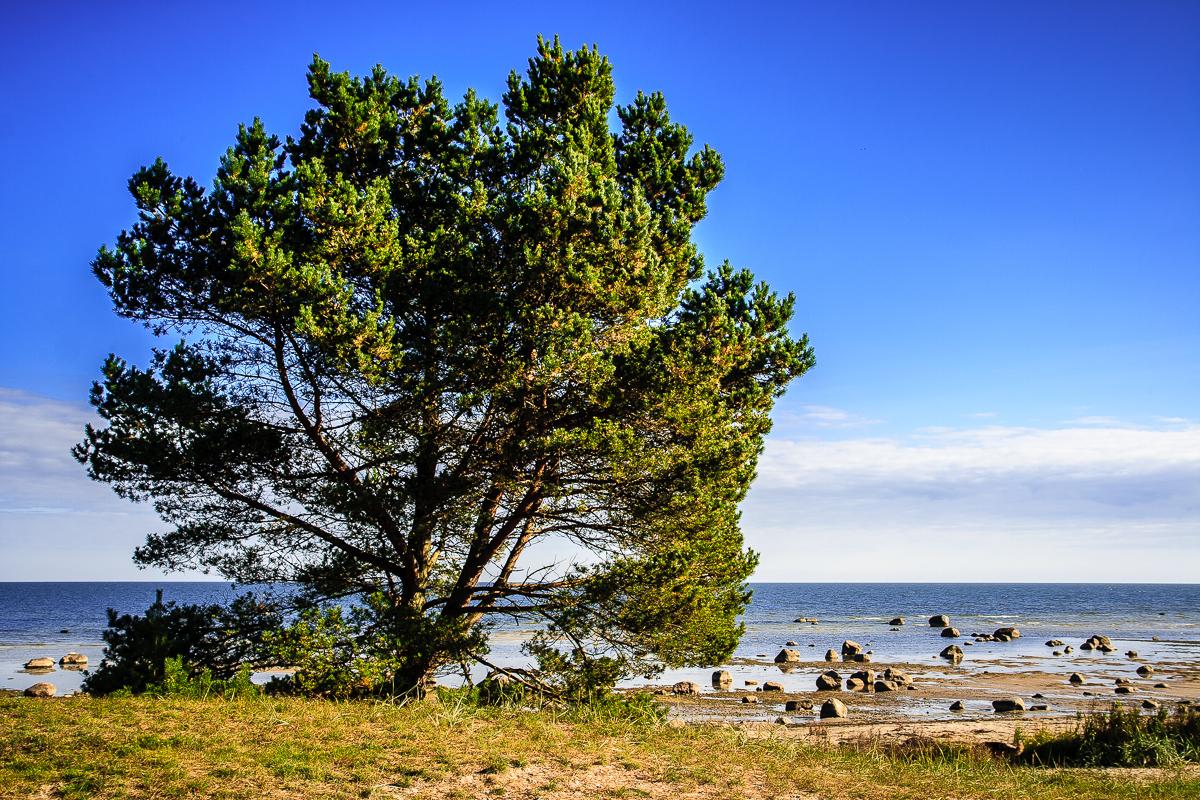 Tree At Seaside Via @Atisgailis