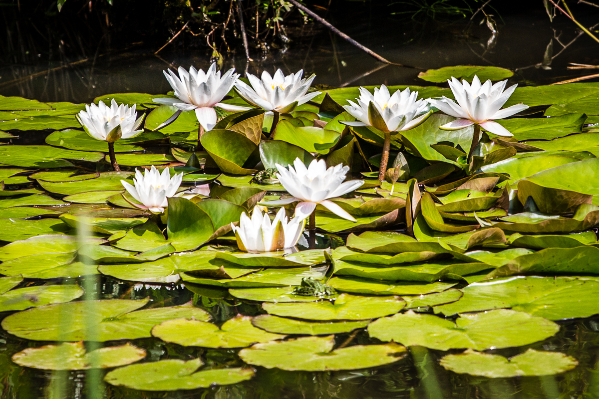 Waterlillies In Pond Via @Atisgailis