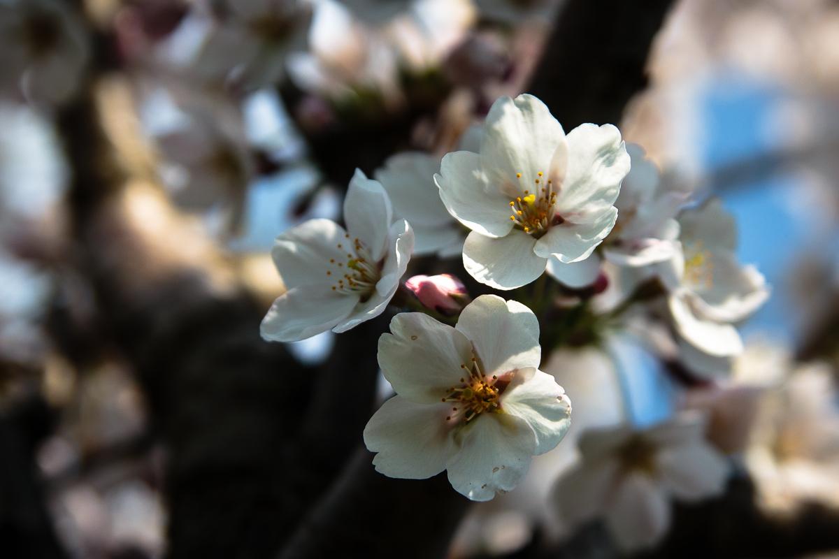 White Cherry Blossoms Via @Atisgailis