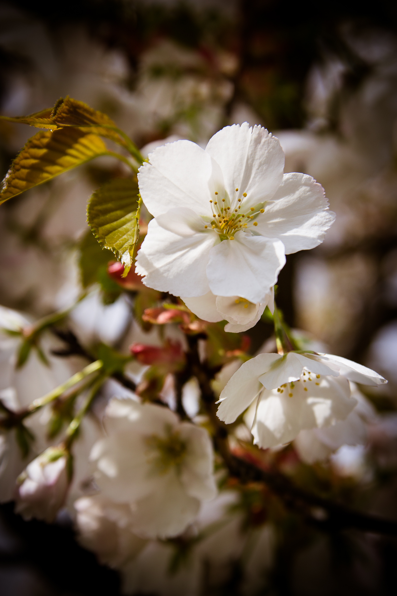 White Cherry Blossoms Via @Atisgailis