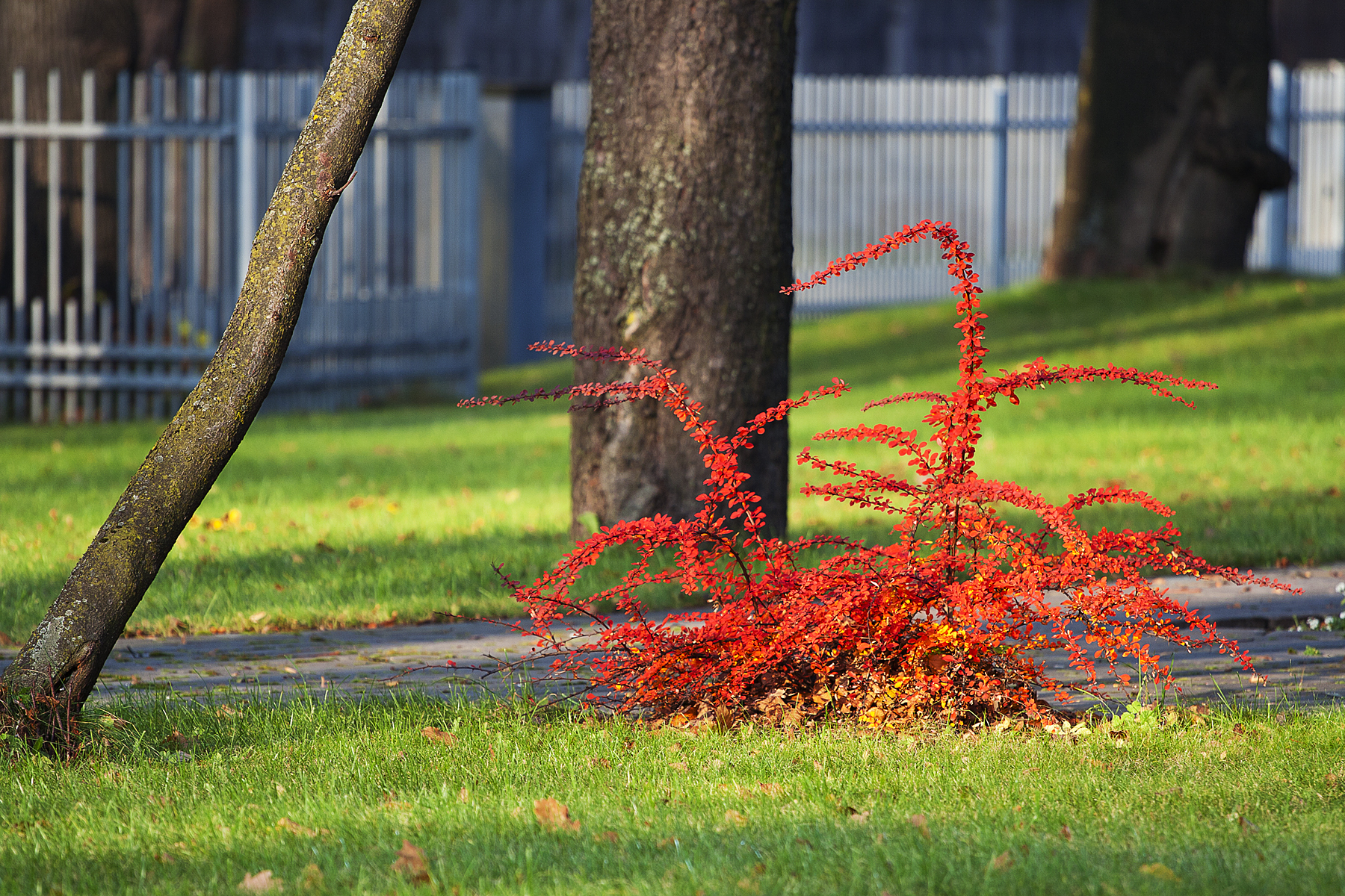 Red Bush Via @Atisgailis