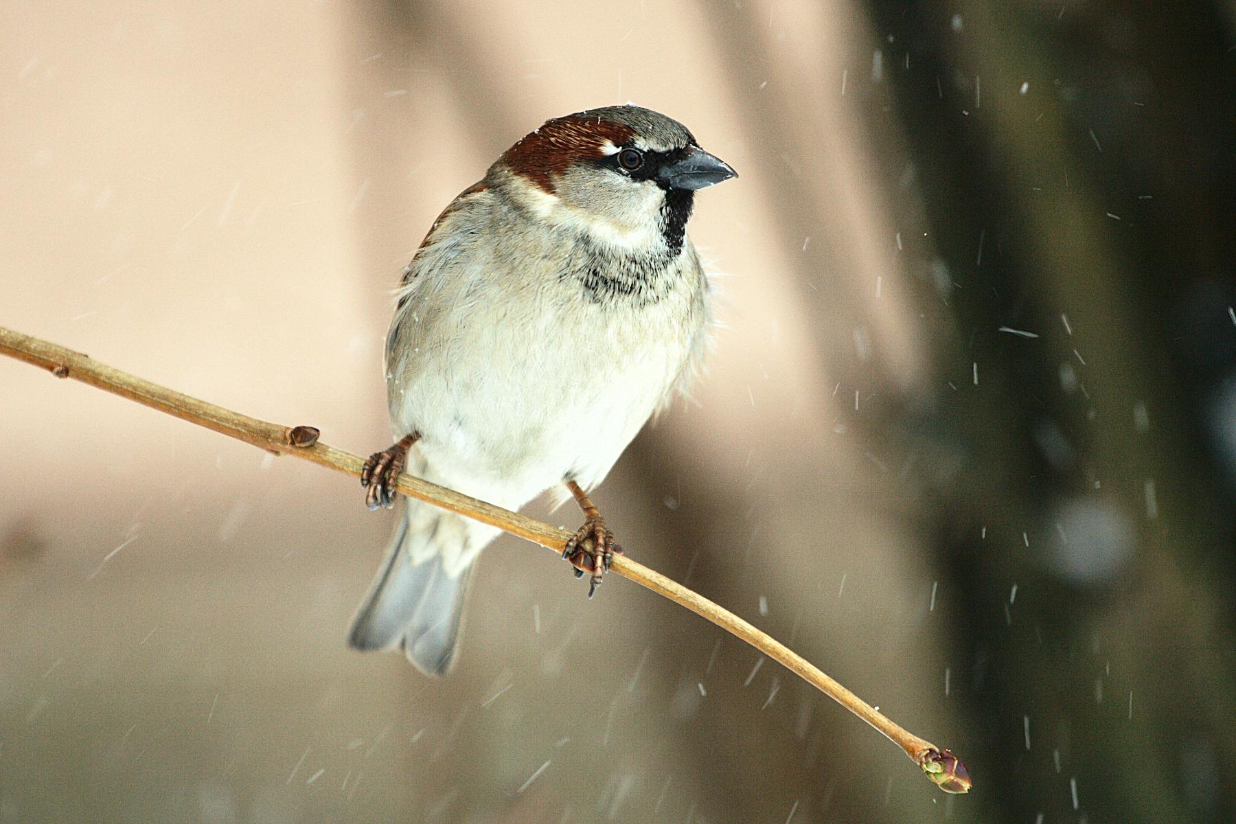 Sparrow Via @Atisgailis