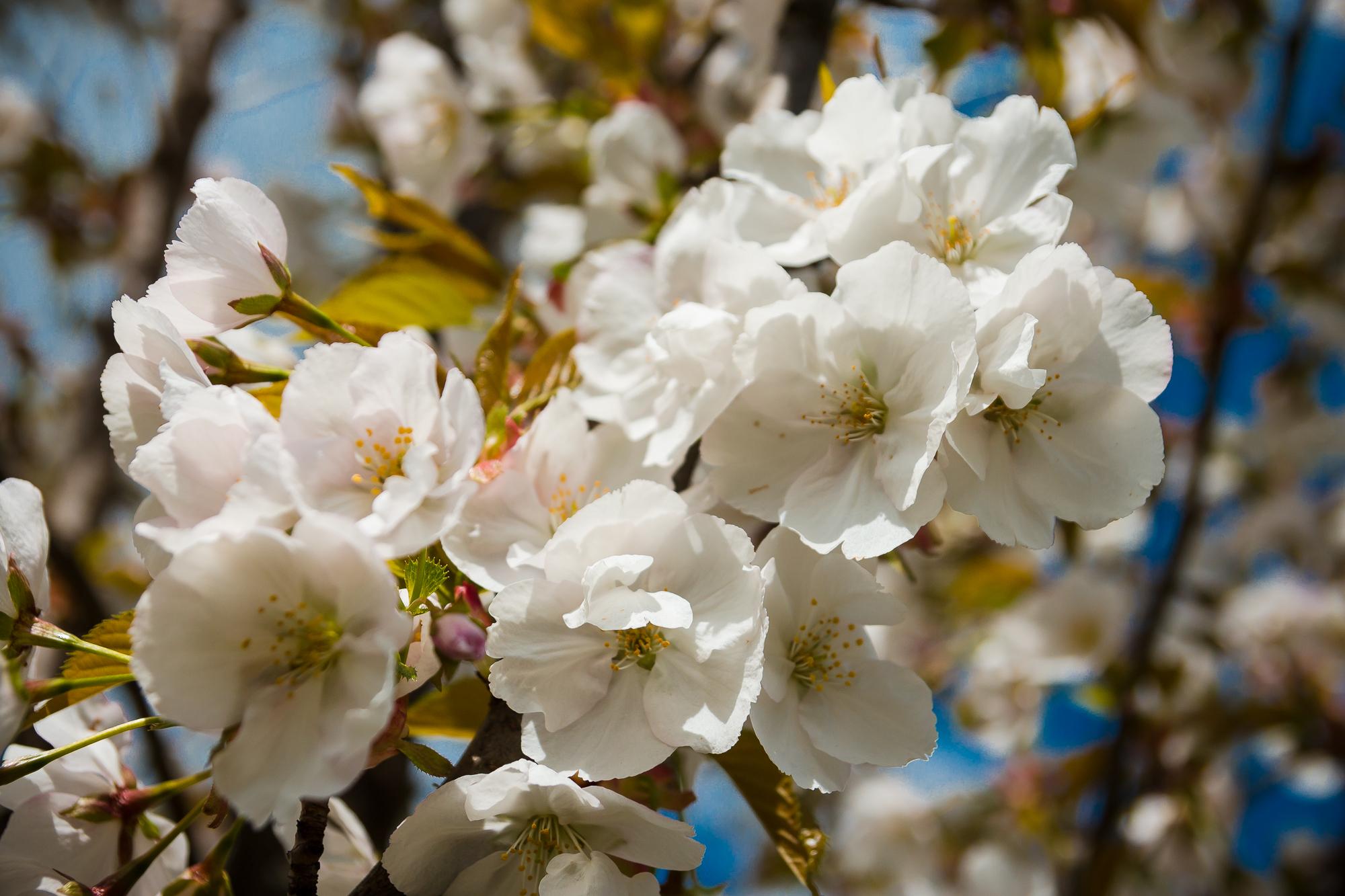 Blossoms Via @Atisgailis