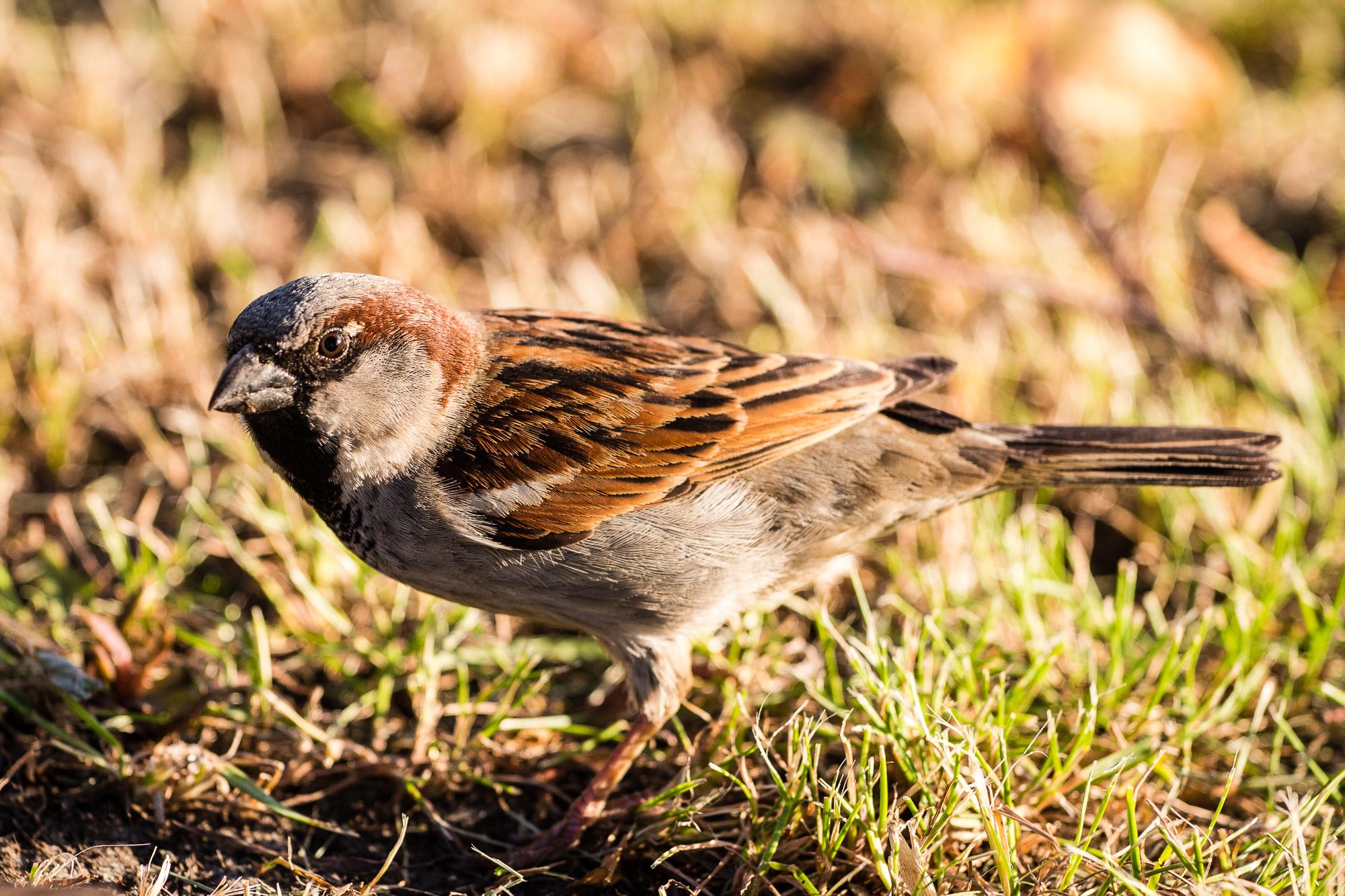 Brown Sparrow Via @Atisgailis