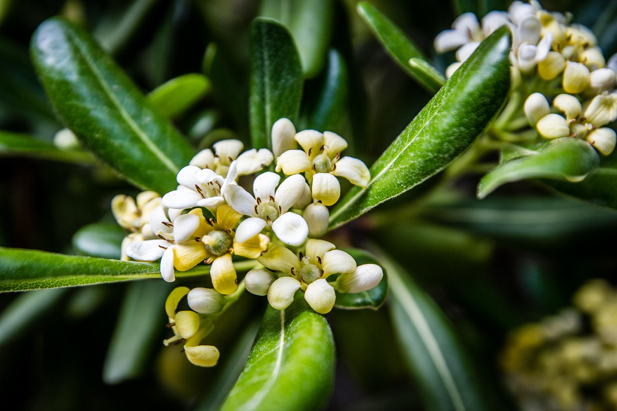 Citrus Blossoms Via @Atisgailis