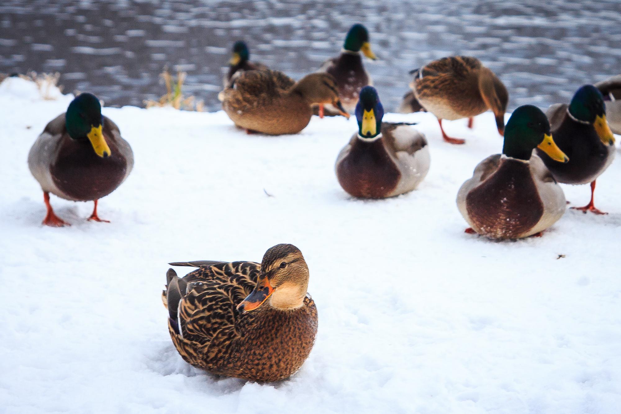 Ducks On Snow Via @Atisgailis