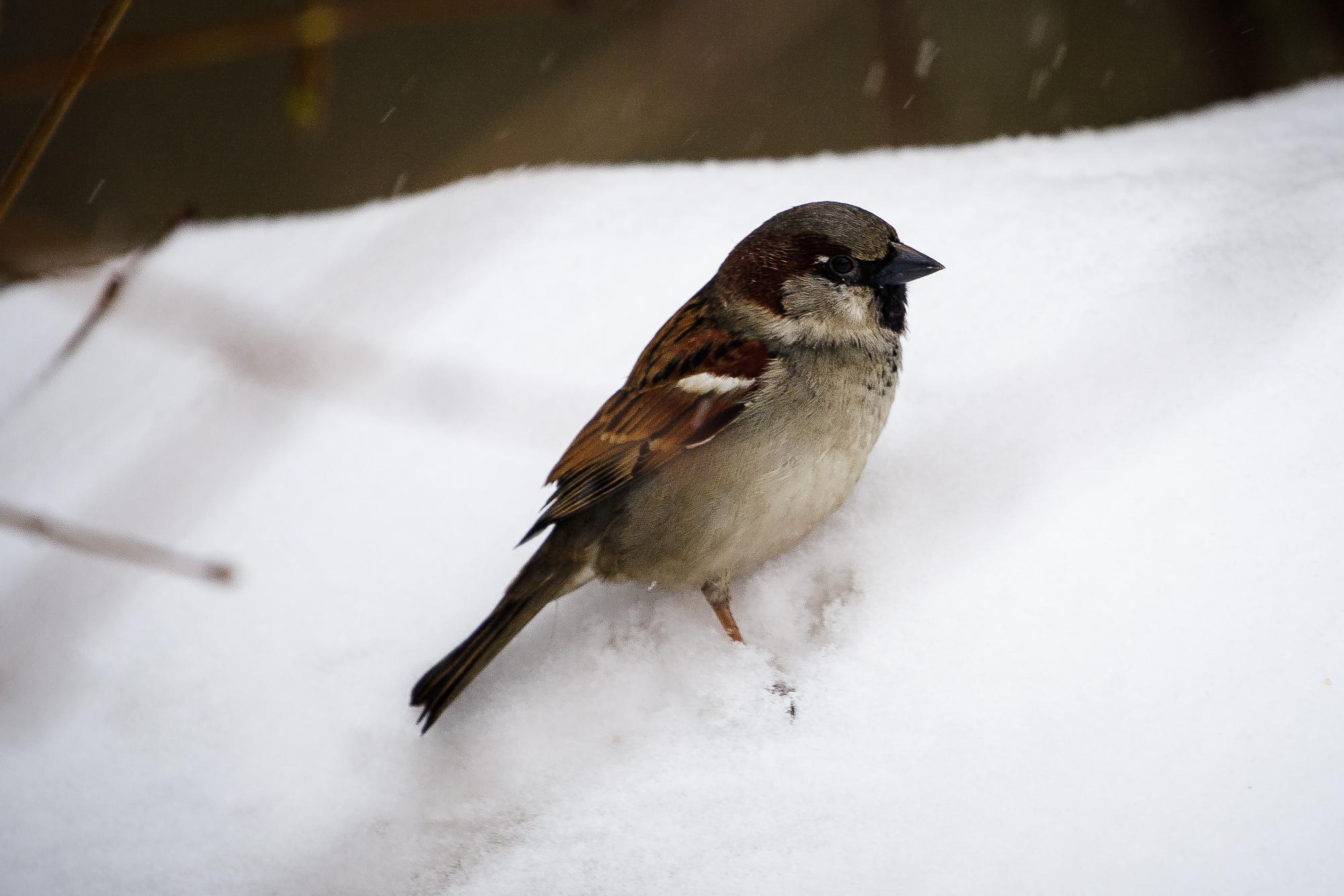 Sparrow In Snow Via @Atisgailis