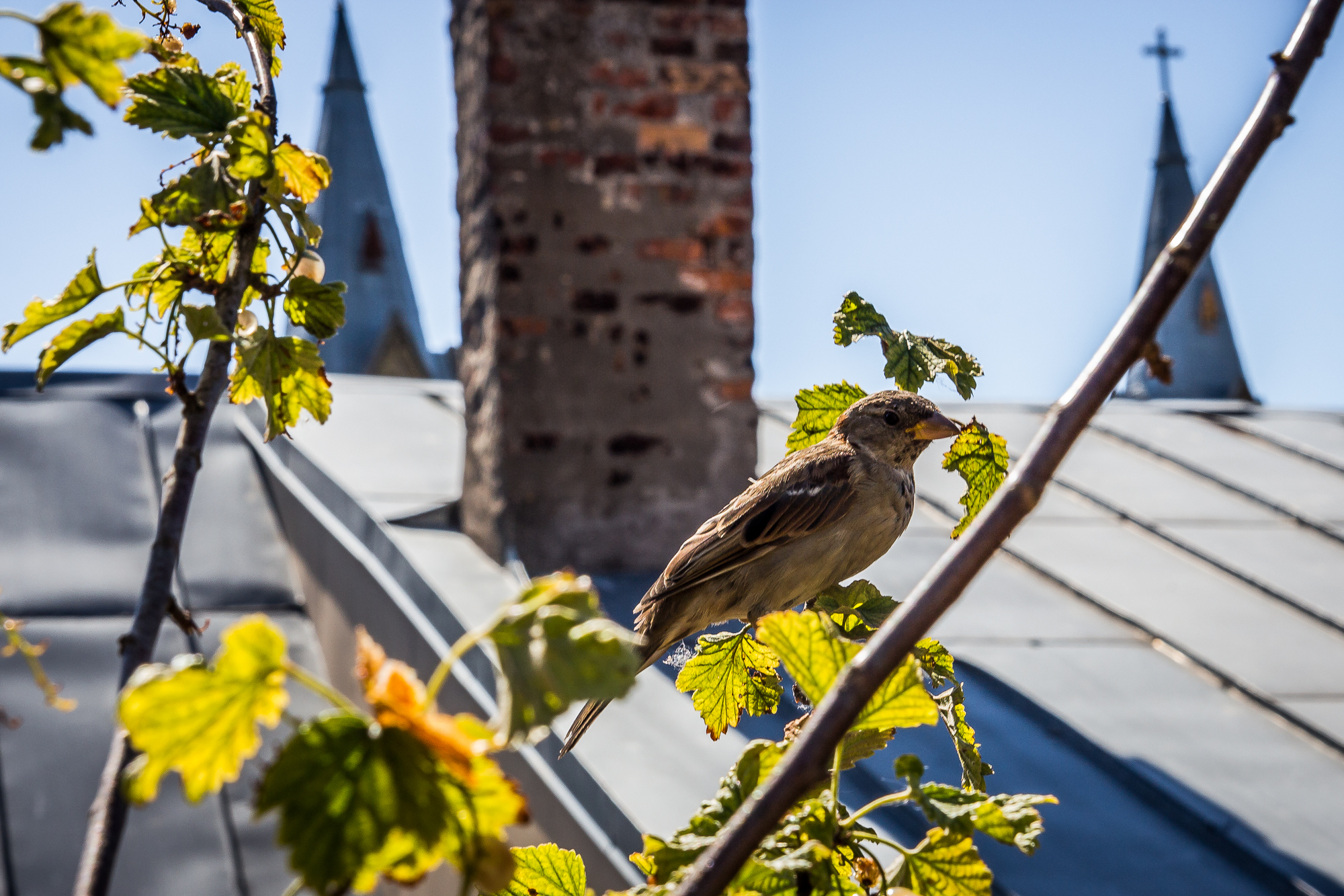 Sparrow On Roof Via @Atisgailis