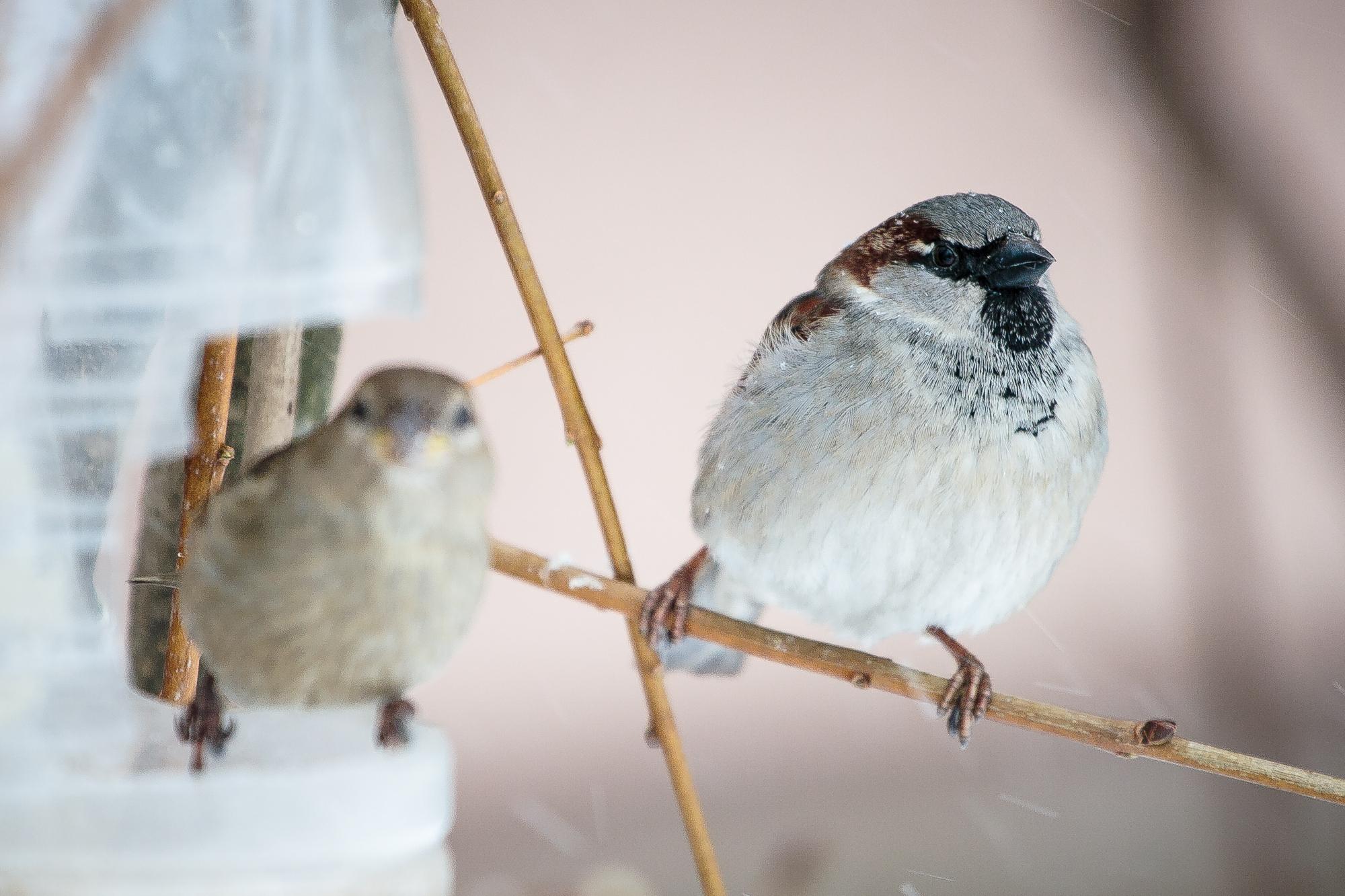 Sparrows Via @Atisgailis