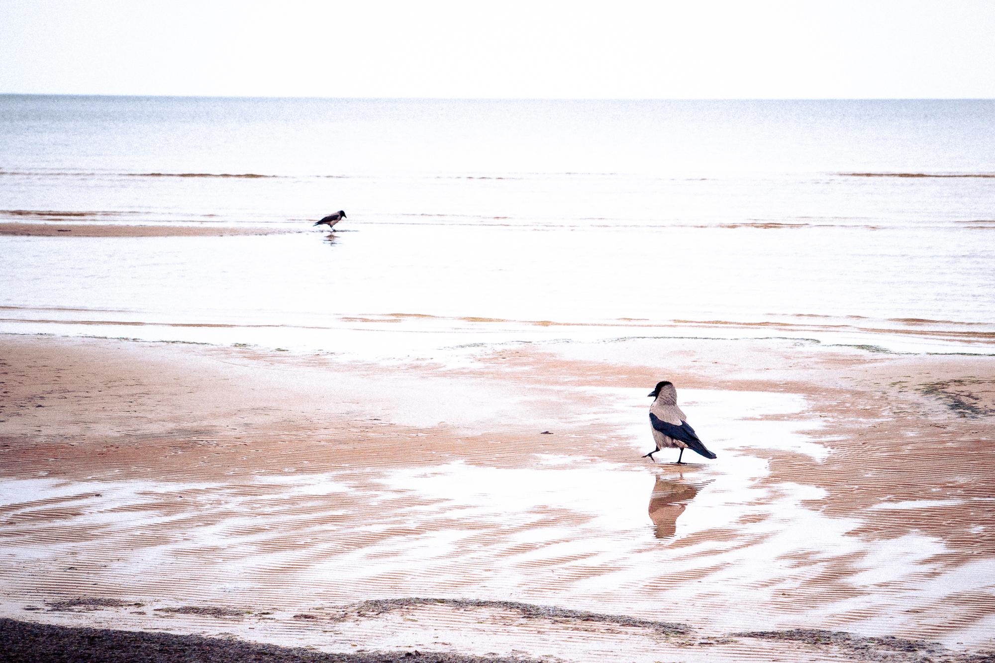 Two Crows In Sea Via @Atisgailis
