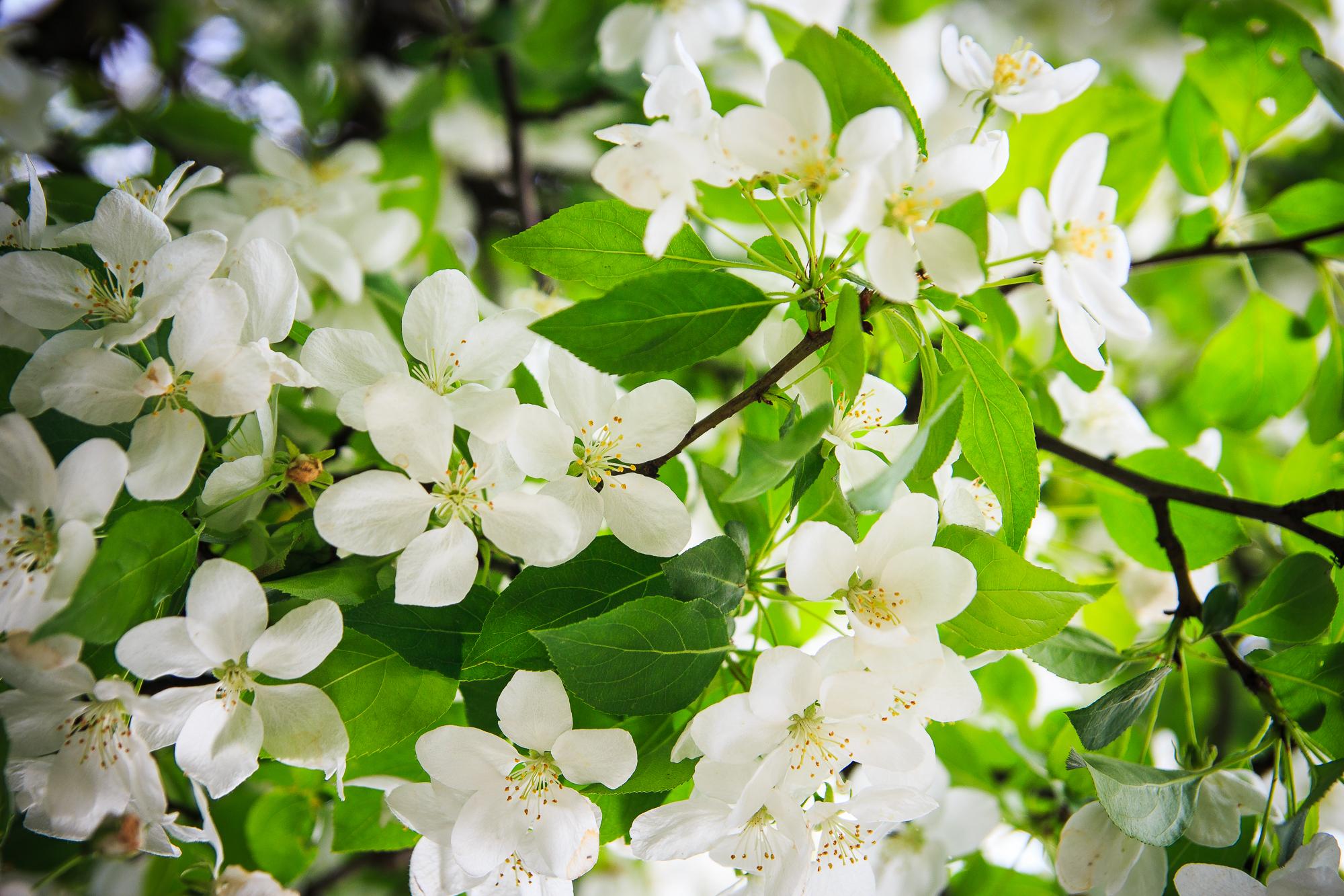White Cherry Flowers Via @Atisgailis