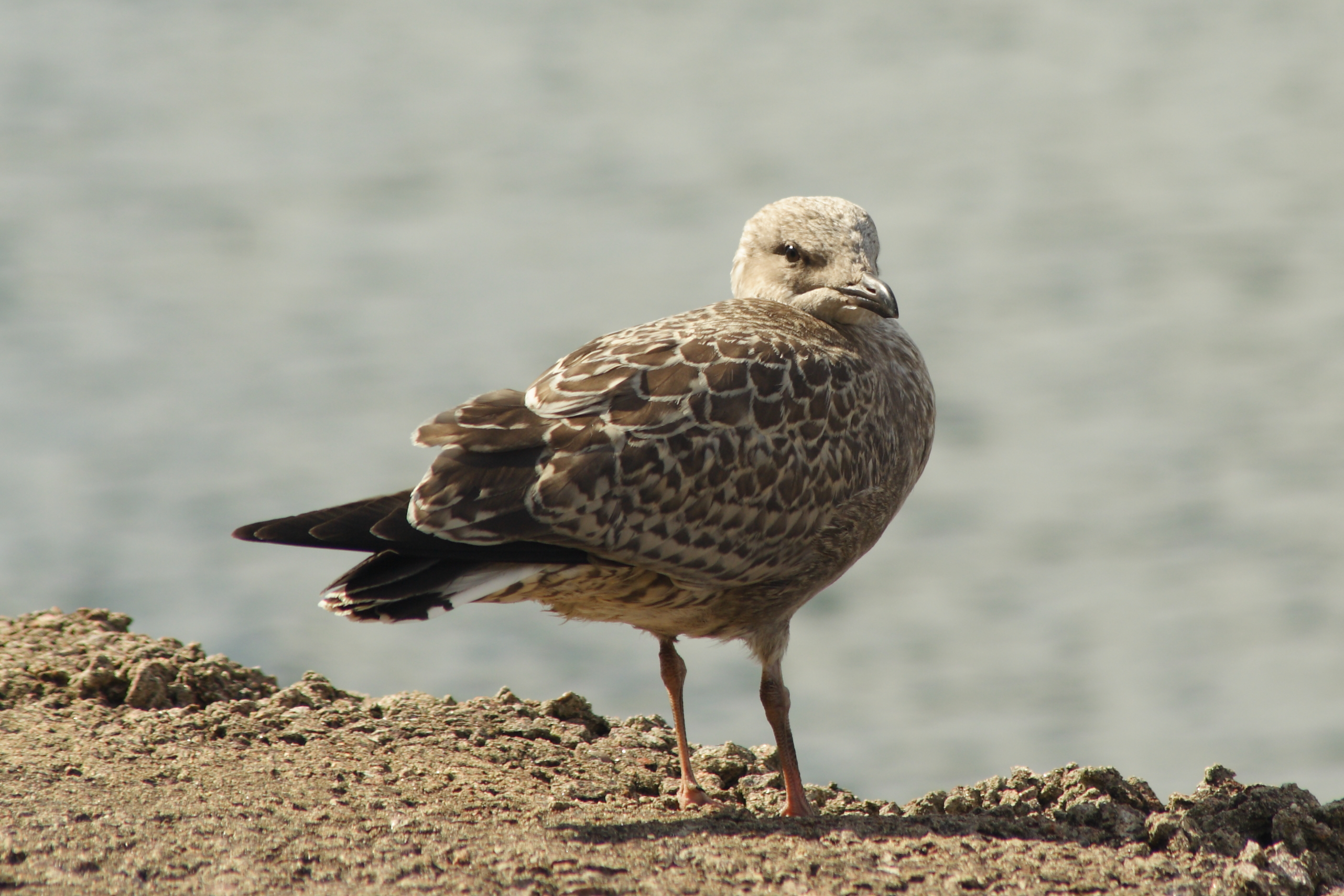 Herring Gull Fledgling Via @Atisgailis