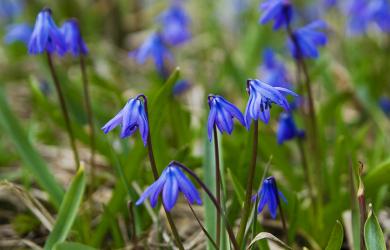 Blue Snowdrops