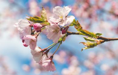 Flourished cherry blossom