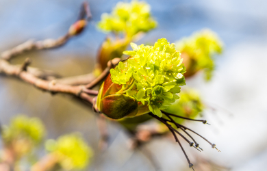 Flourished maple bud