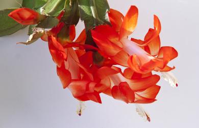 Flowering Christmas cactus