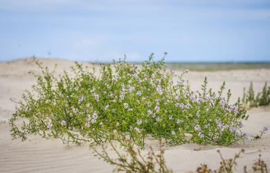 Flowers In Dunes