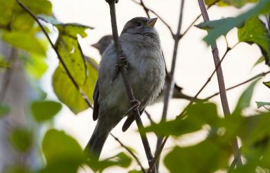 Sparrow (Passer Domesticus)