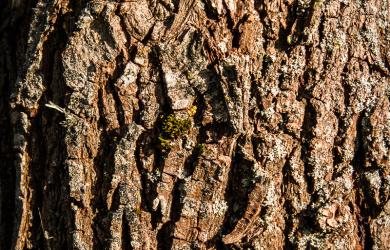 Peel of tree's trunk