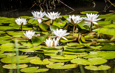 Waterlilies In Pond