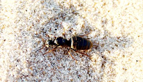 Ant In Sand Via @Atisgailis