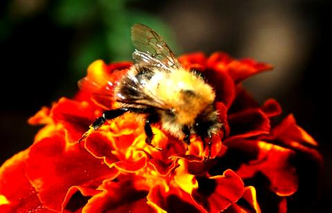 Bee On A Flower Via @Atisgailis