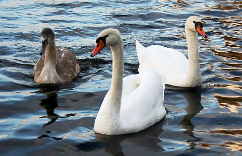 Swans Via @Atisgailis