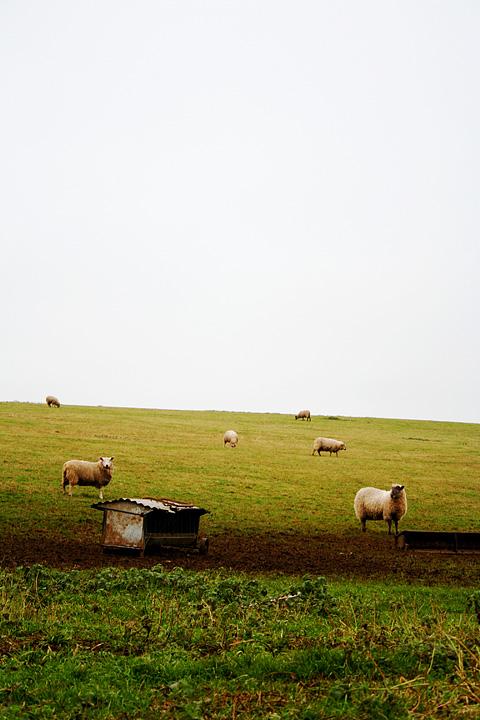 Sheep Of Albion Via @Atisgailis