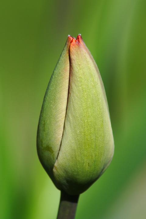 Spring Tulip Via @Atisgailis
