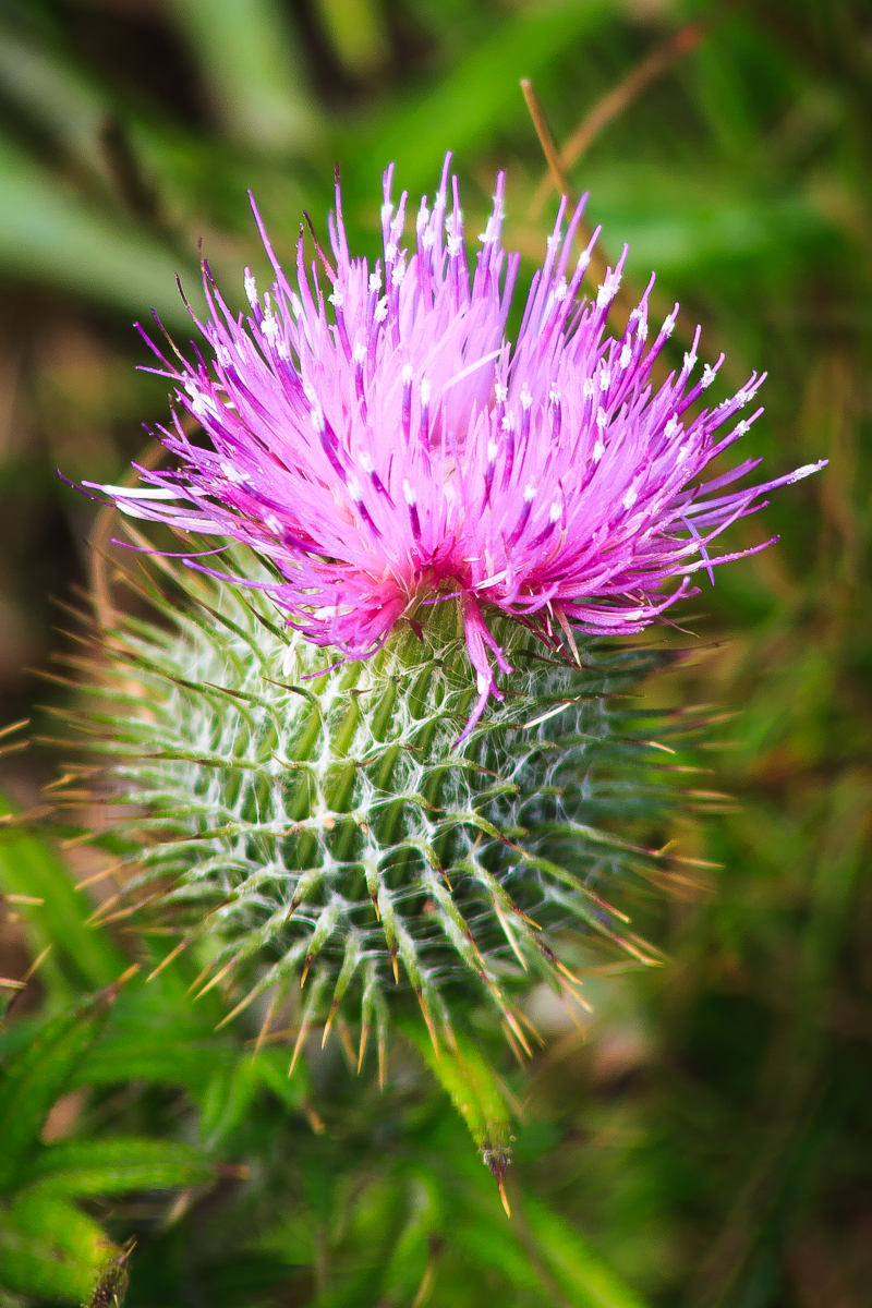 Blooming Thistle Via @Atisgailis