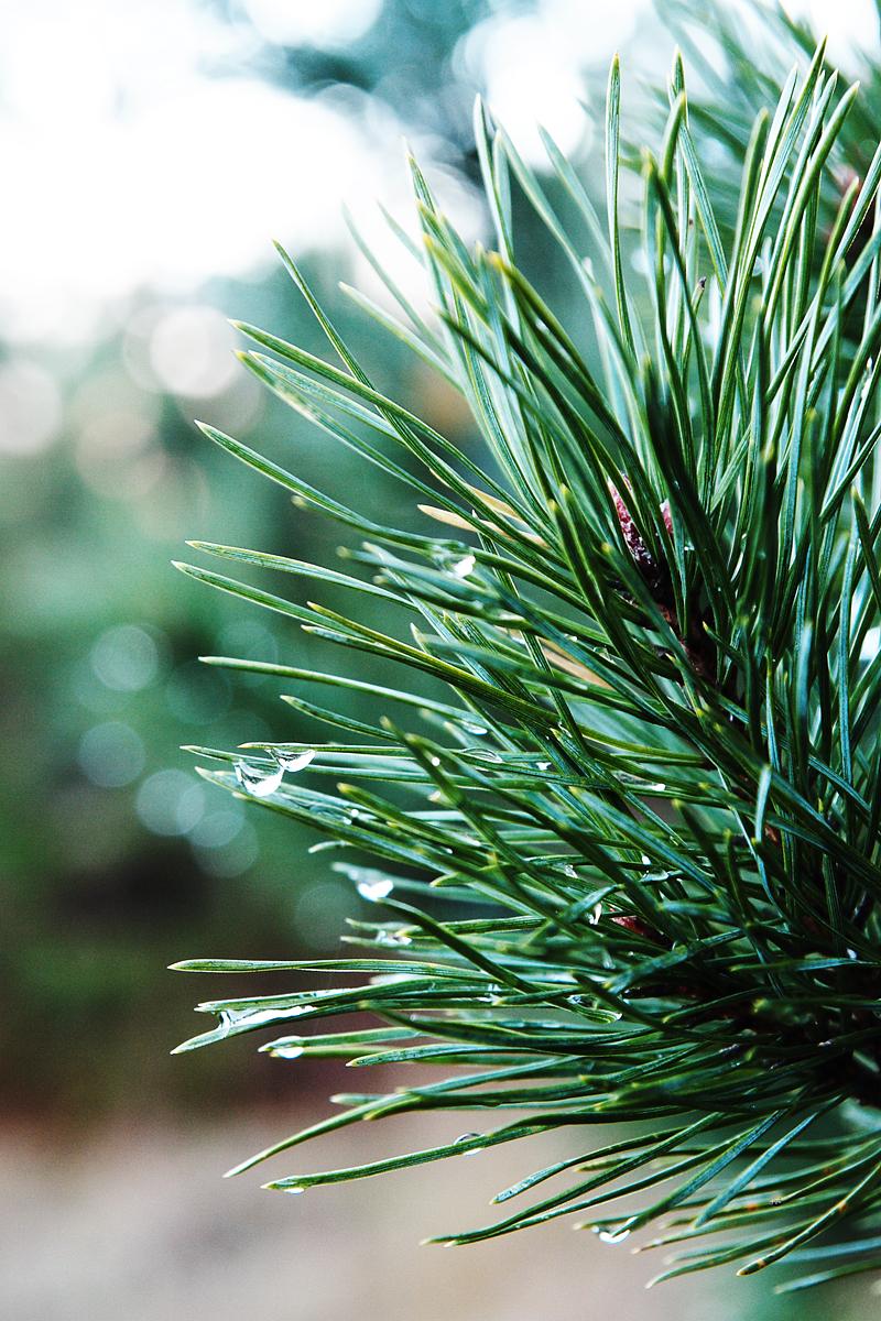 Droplets On Pine Tree Via @Atisgailis