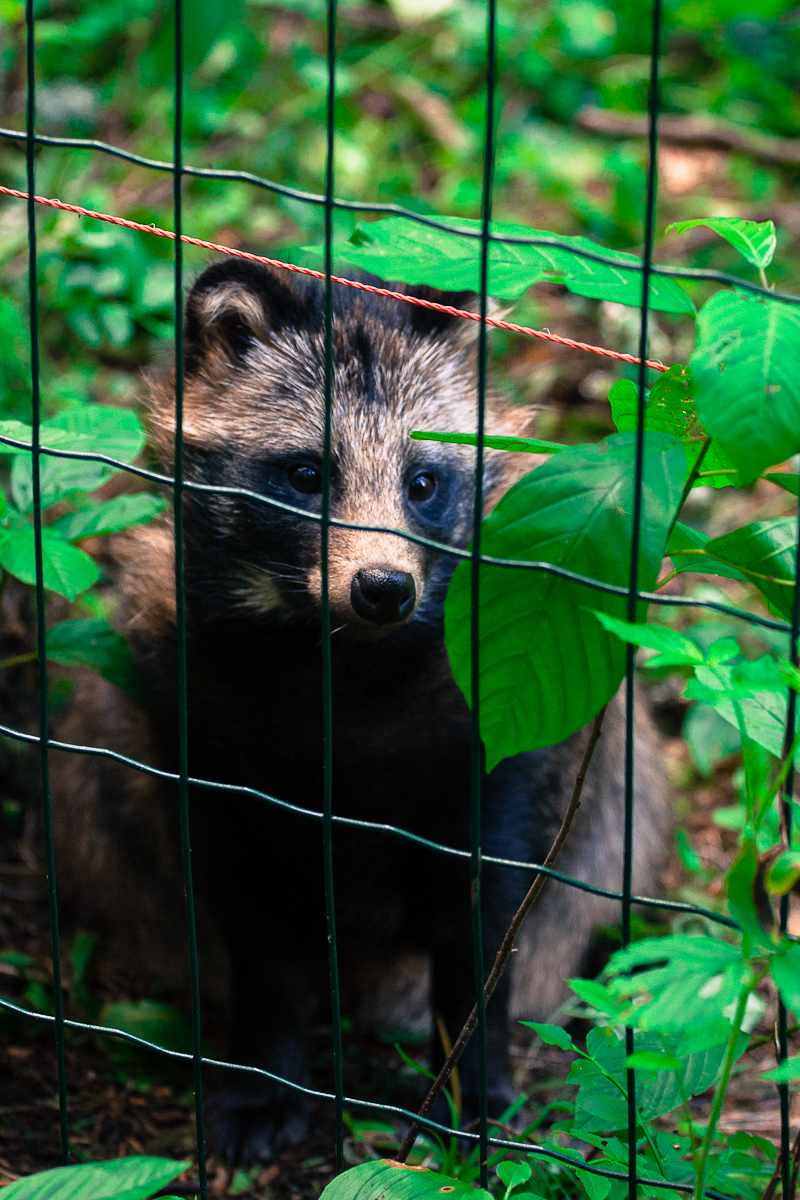 Fenced Racoon Via @Atisgailis