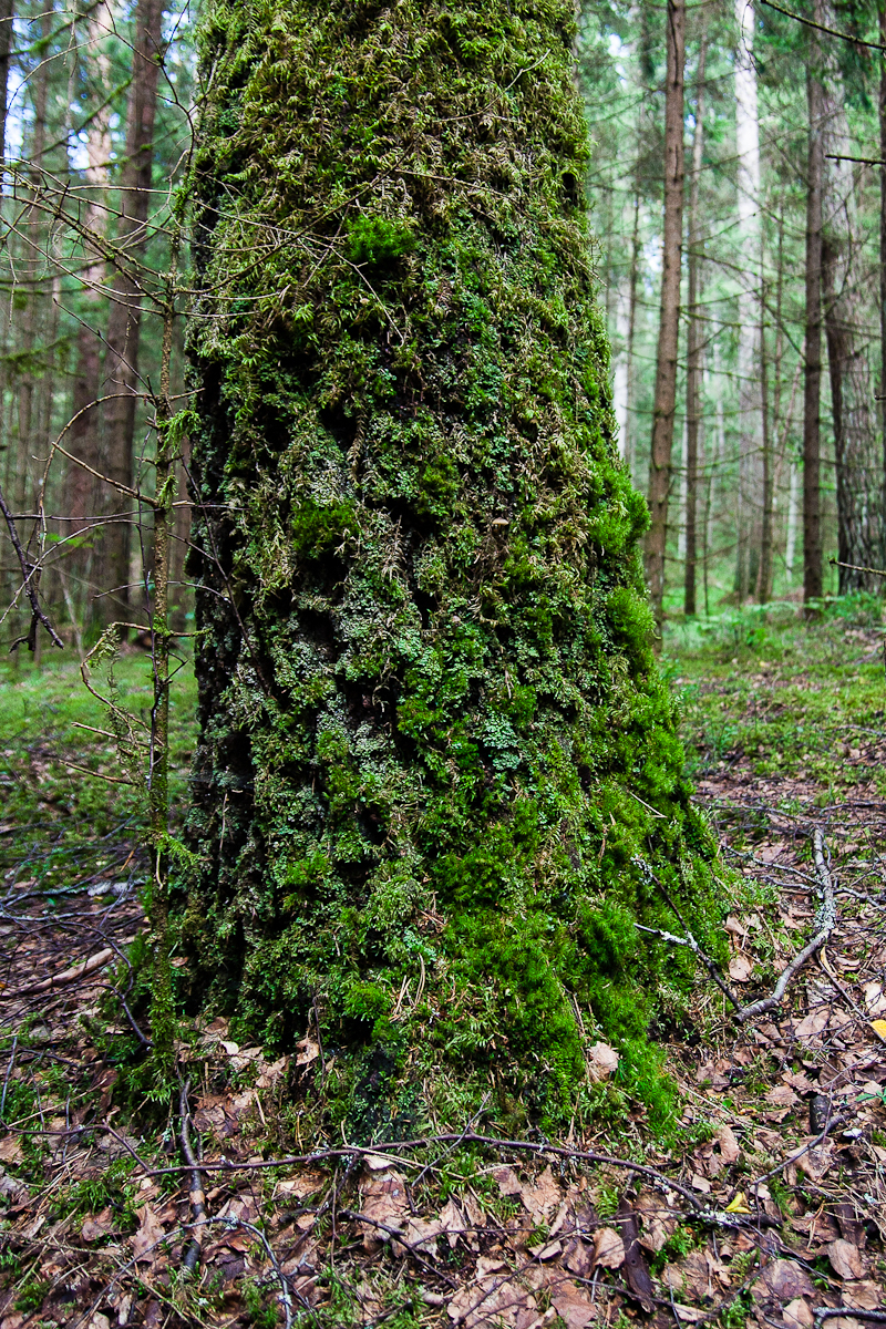 Mossy Tree Via @Atisgailis