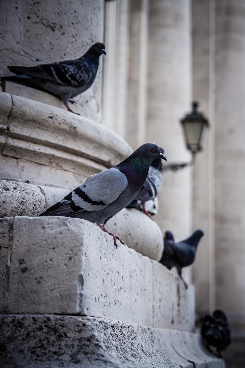 Pigeons Via @Atisgailis