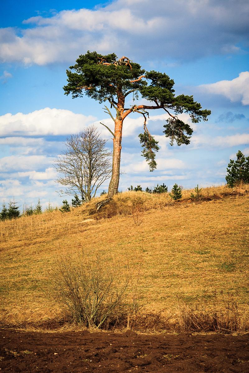 Pine Via @Atisgailis