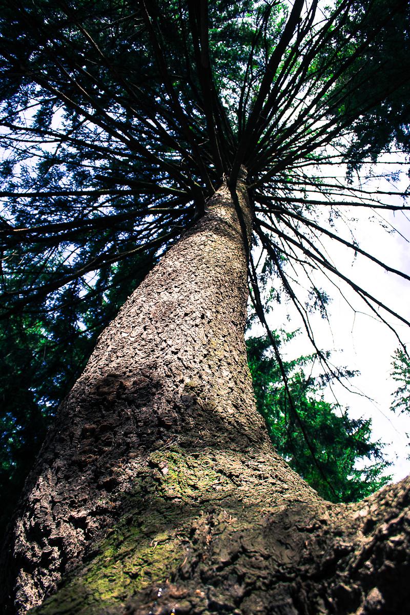 Pine Tree Via @Atisgailis