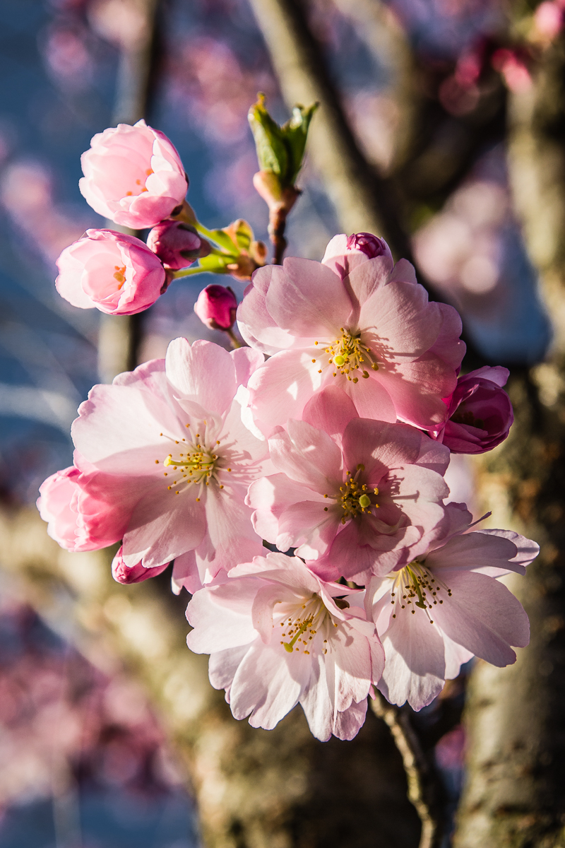 Plum Blossoms Via @Atisgailis